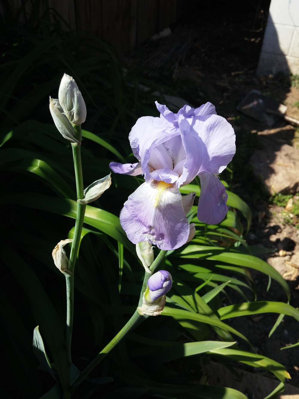 Our irises are blooming! We got them from the woods around a cabin in Steelville, where they were planted by my great-grandmother.