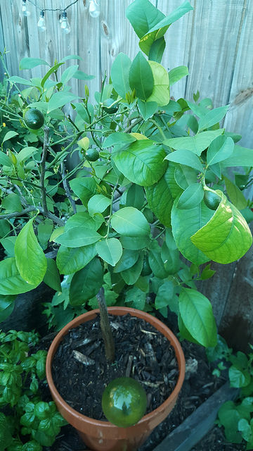 My meyer lemon tree has at least 8 lemons-to-be on it! All that watering is worth it :)