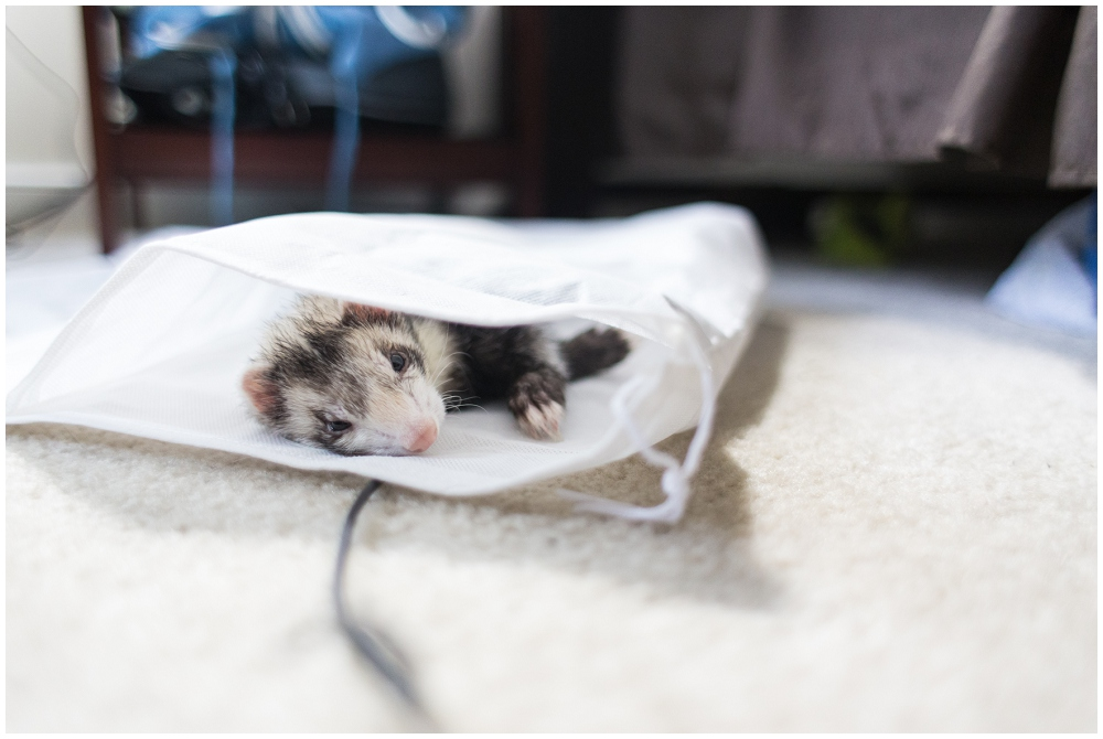 Photography workshop, ferret sleeping