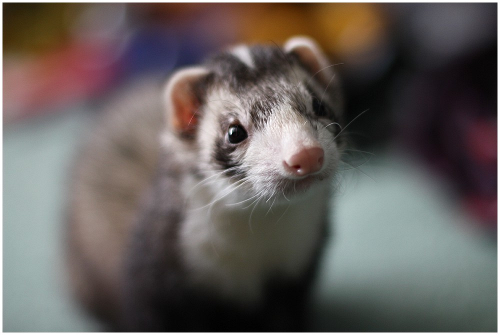 zeke the ferret