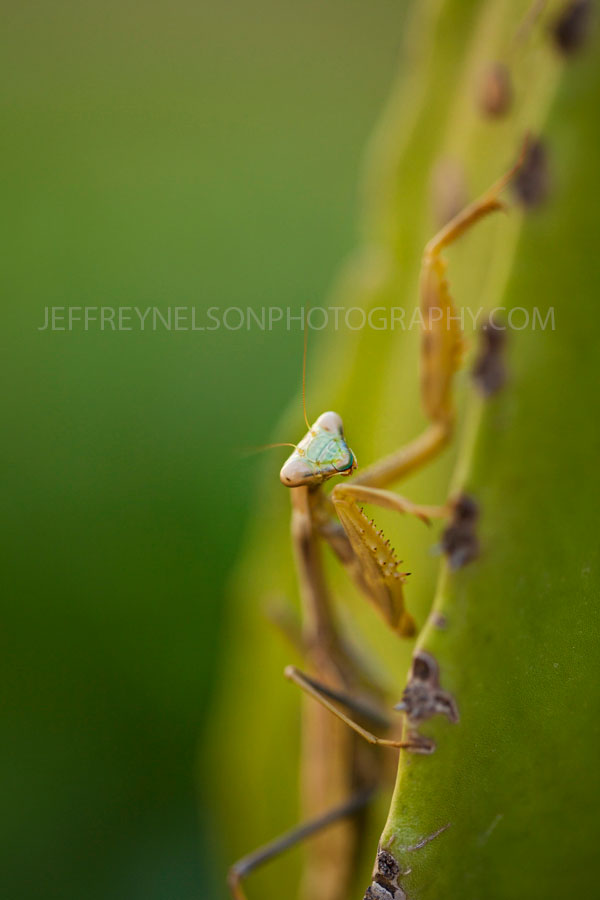 mantis, Florida Keys, insect, cactus, jeffrey nelson landscape photographer, national parks, key west, hollywood, praying mantis