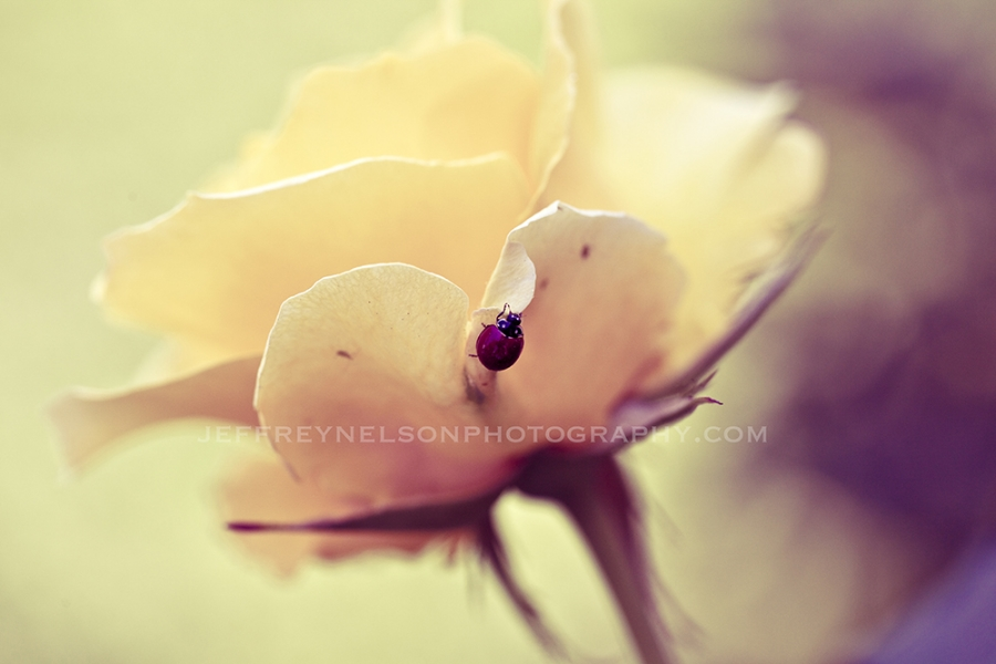 lady bug, flowers, real photo, jeffrey nelson photography