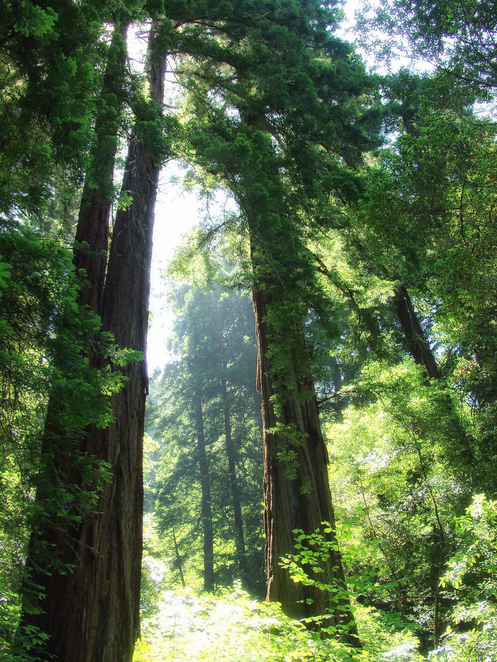 Muir Woods 6202276.jpg
