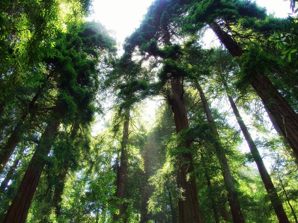 Muir Woods 6202286.jpg