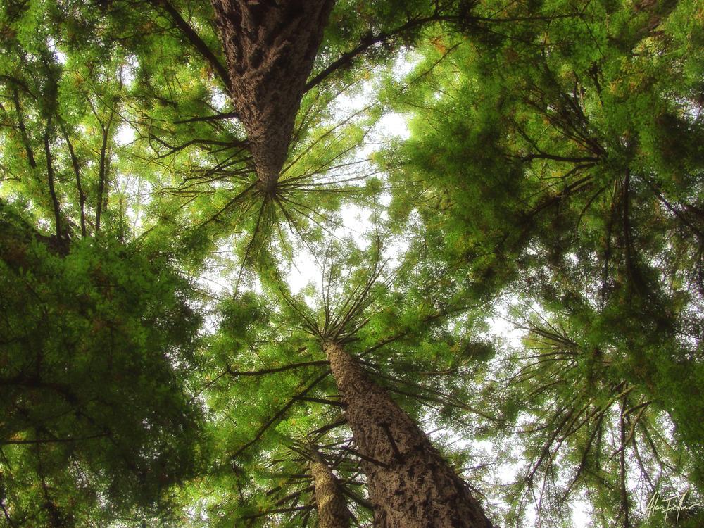 Muir Woods 8311648.jpg