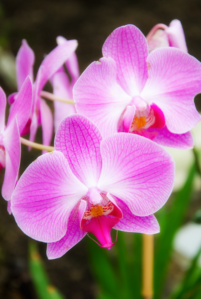 Moth Orchid (Phalaenopsis Palmbel)