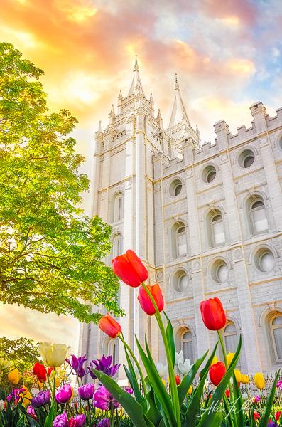 Salt Lake City Tulips