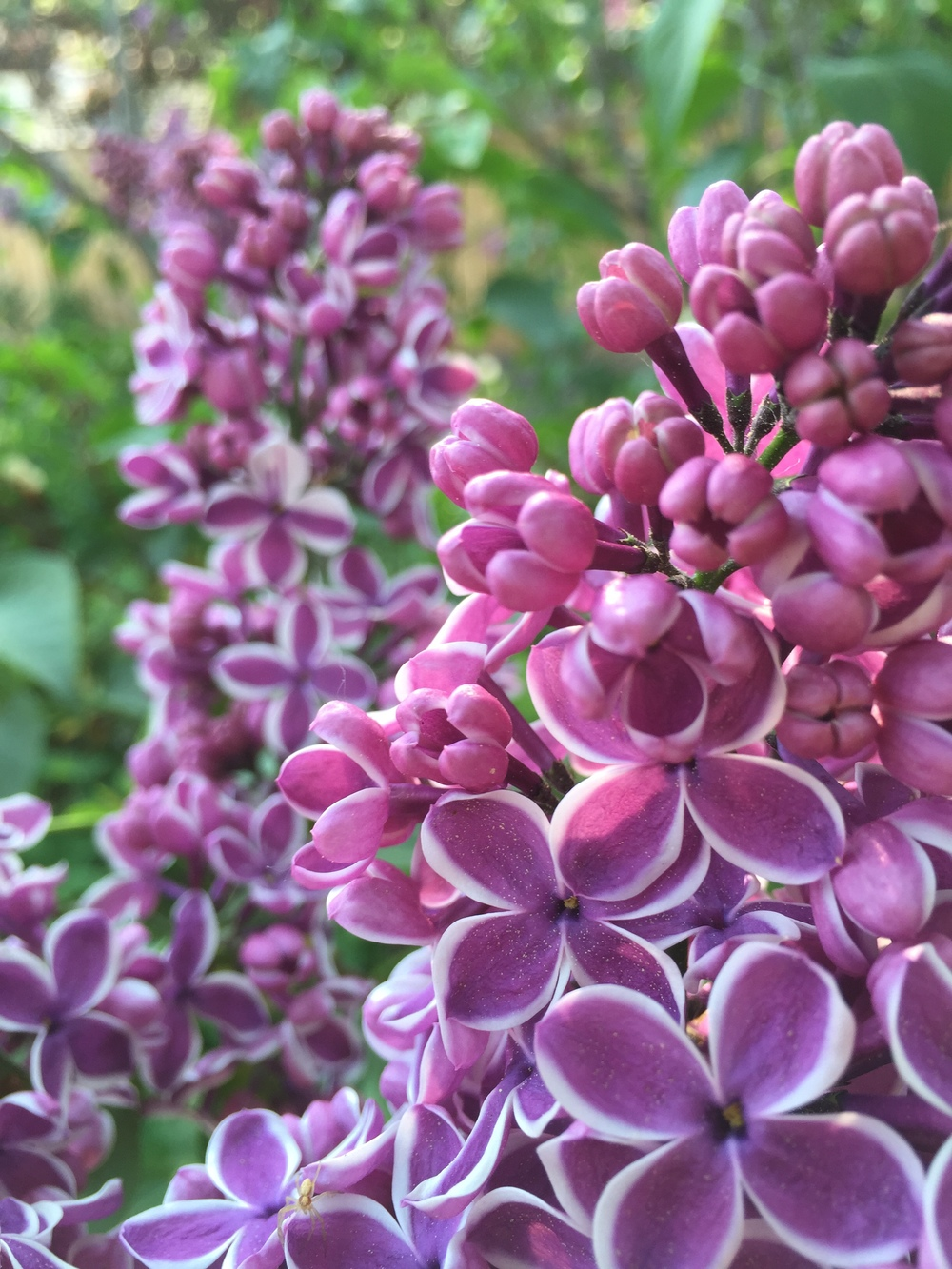 Beautiful 'Sensation' - the first bicolour lilac, discovered in the 1930s by a Dutch grower