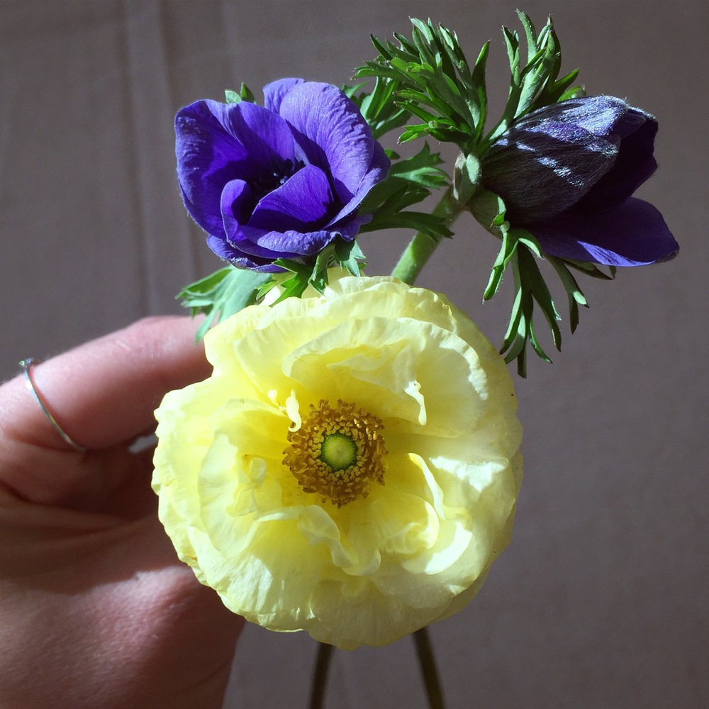 EARLY NOVEMBER (!!!!) - ranunculus and anemones. Then it snowed.