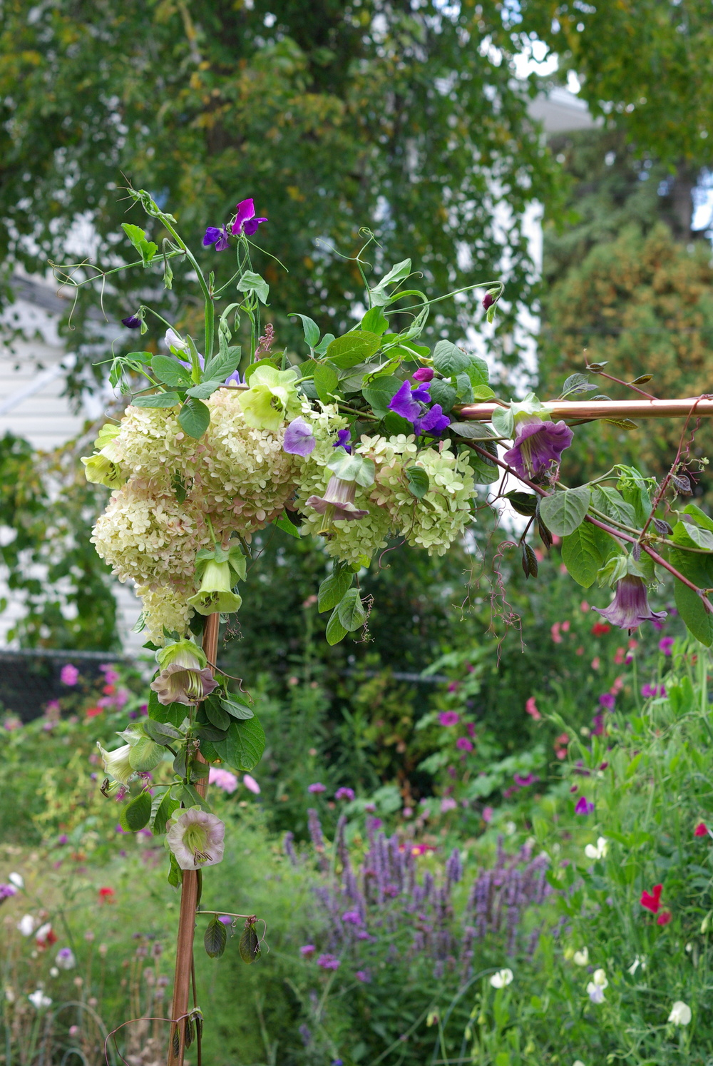 Mid-September - Cobea vine, 'Limelight' hydrangea, sweet peas