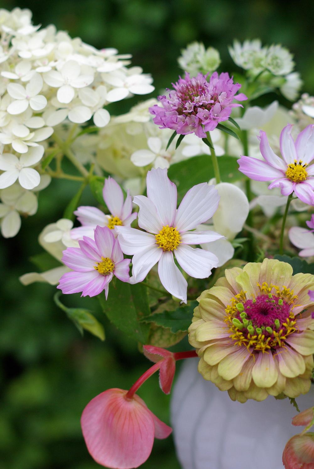 Late August - begonias, zinnia, epimedium foliage, cosmos, scabiosa, 'Limelight' hydrangea, astrantia, sweet peas