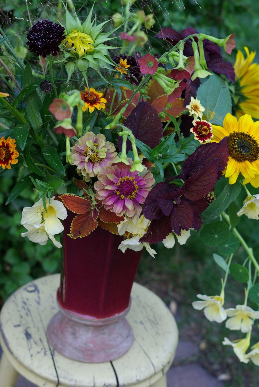 Mid-August - zinnias, nasturtiums, nicotiana, coleus, sunflowers, scabiosa, frosted explosion grass
