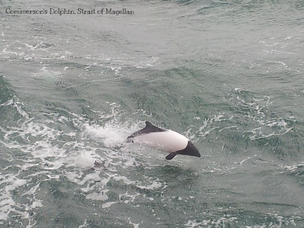 dolphin, strait of magellan.jpg