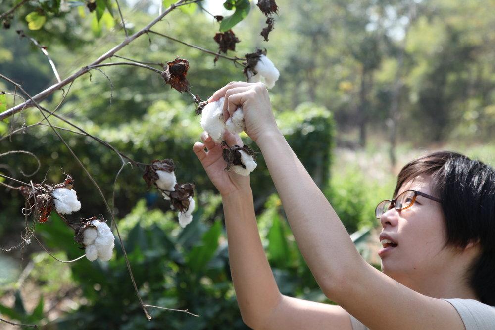 吃飯喝水生態農場的棉花收成囉!(攝影 /陳阿凱)