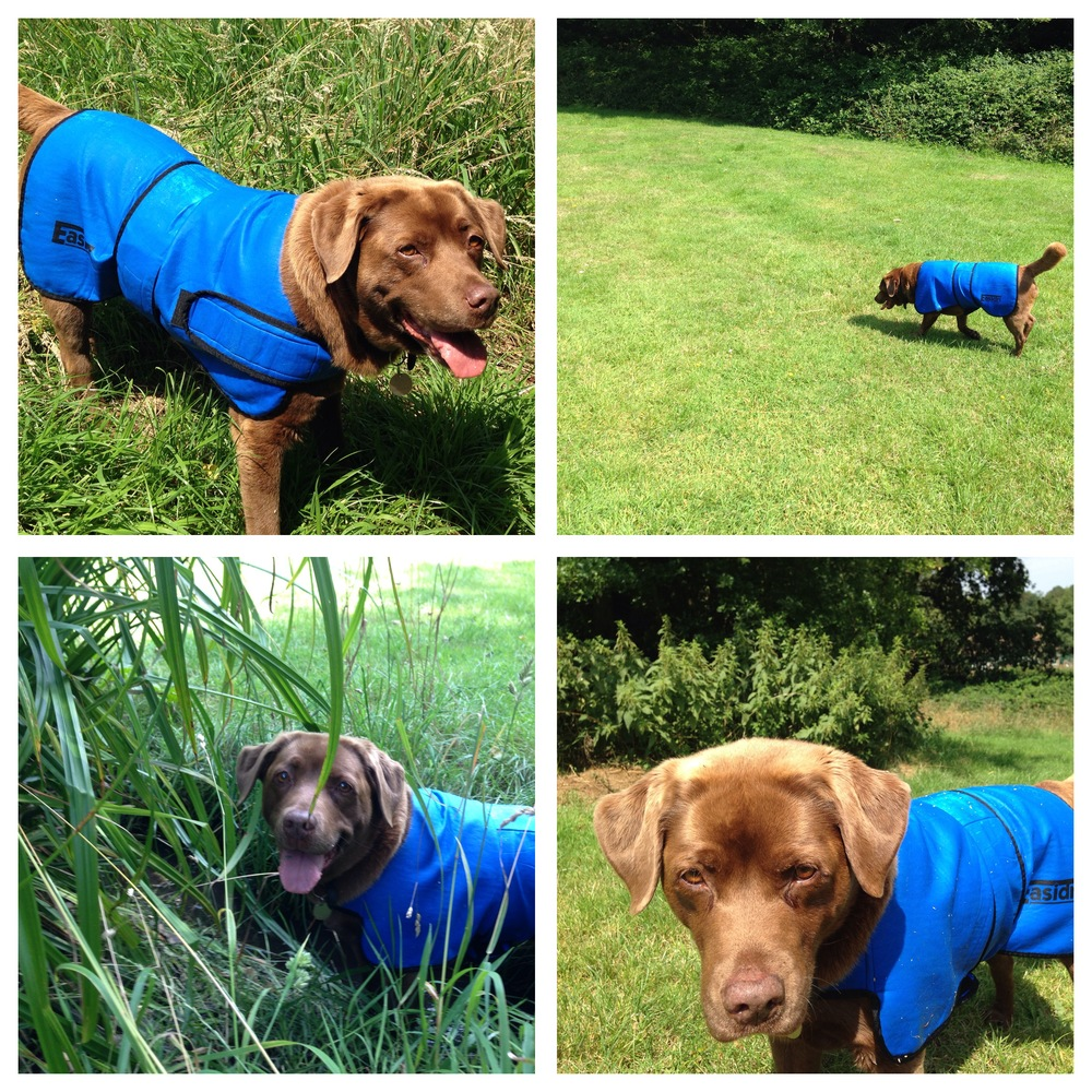 The Easidri Cooling Coat is an essential bit of kit for dogs who feel the heat, especially thick coated or older dogs. Its a high quality, effective and well made product that keeps your dog on the move in the heat (and looks rather stylish).  Dogs can't regulate their temperature in heightened conditions and several dogs a year die from dehydration and heat exhaustion. Never leave your dog in a car, or without shade or water. During hot weather, try to avoid heavy exercise in the middle of the day.  Keep cool!