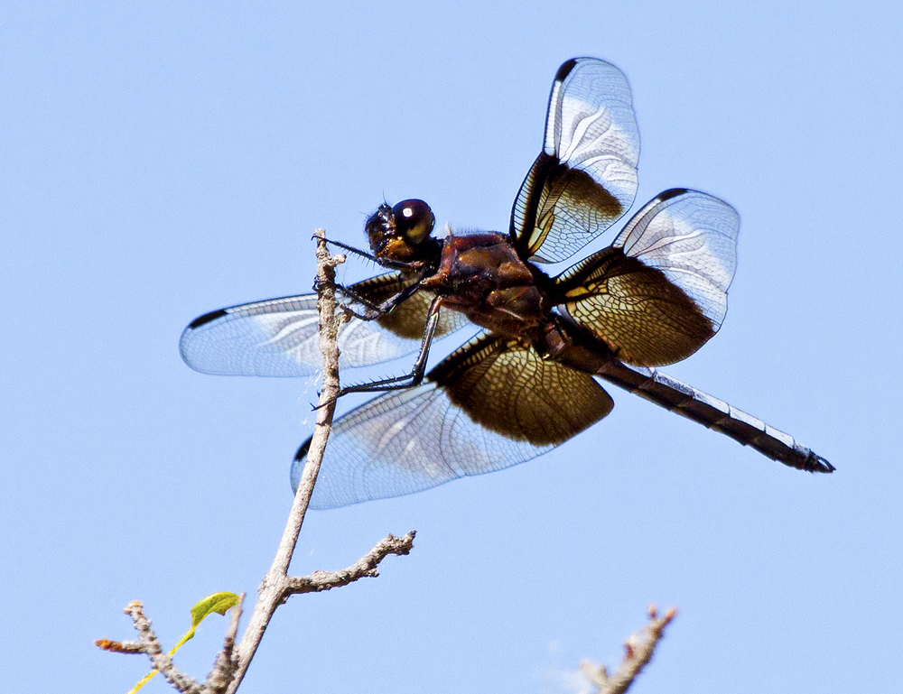 41 - Dragonfly