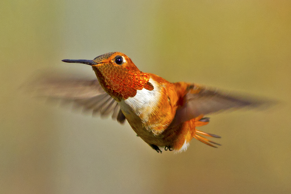 62 - Hummingbird