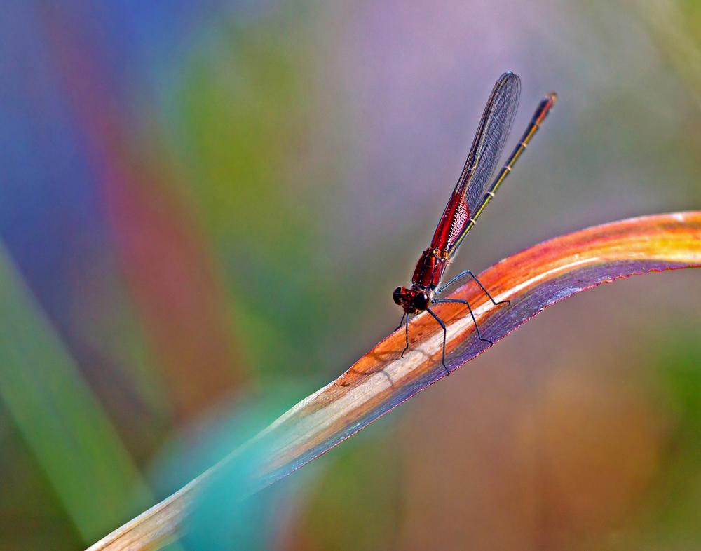 63 - Dragonfly