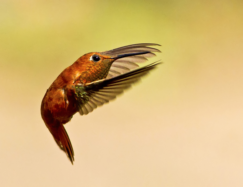 119 - Hummingbird