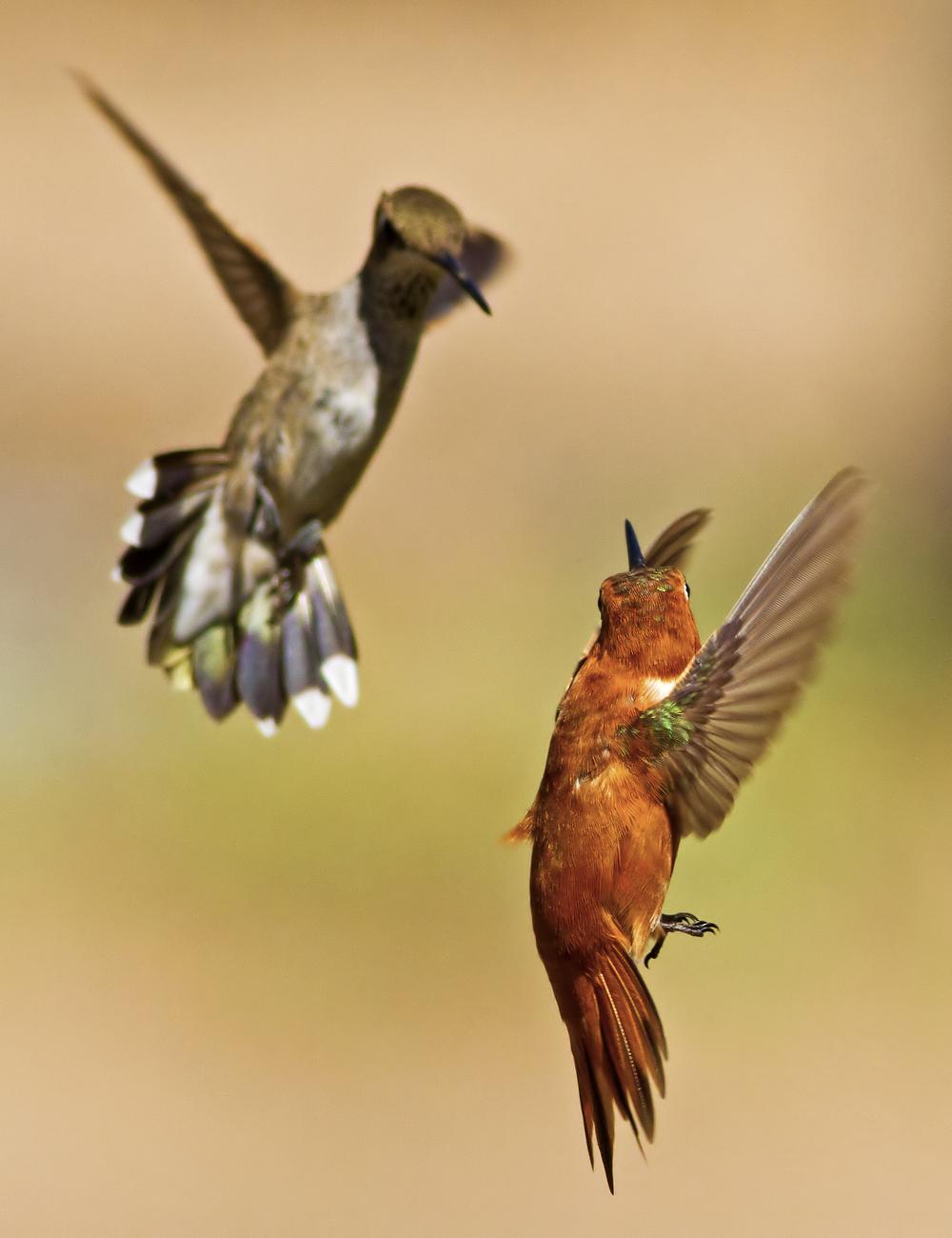 120 - Hummingbird