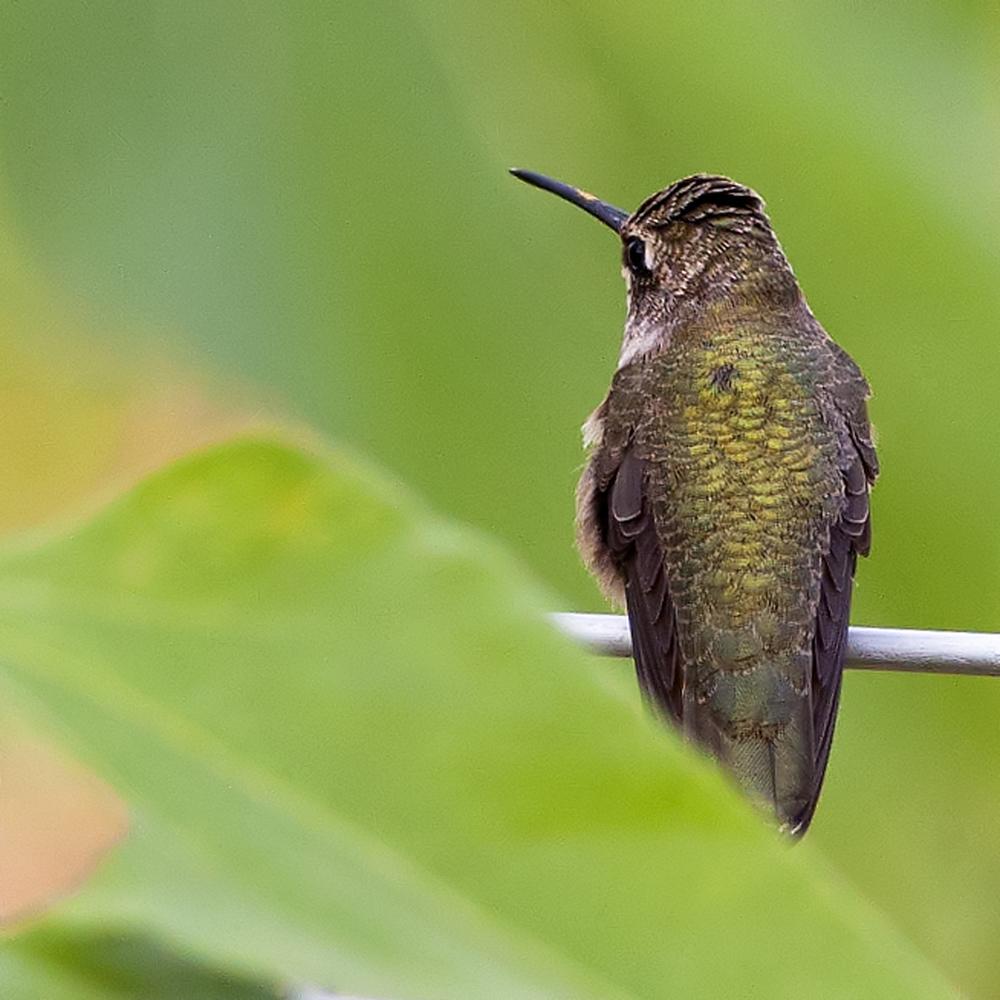 132 - Hummingbird