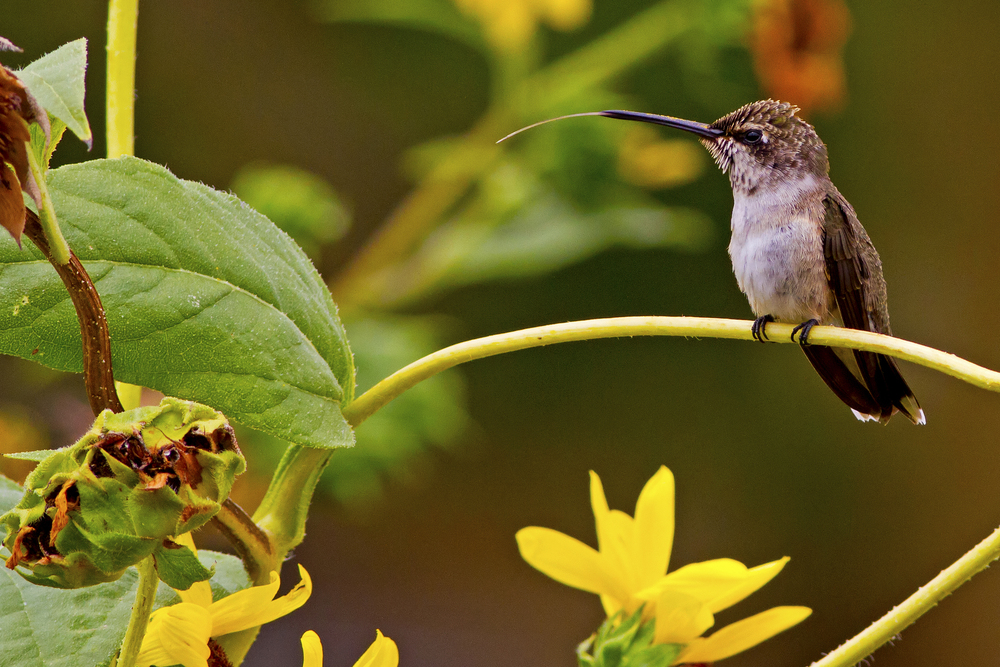 131 - Hummingbird