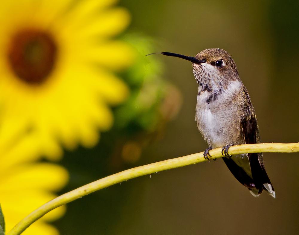 134 - Hummingbird