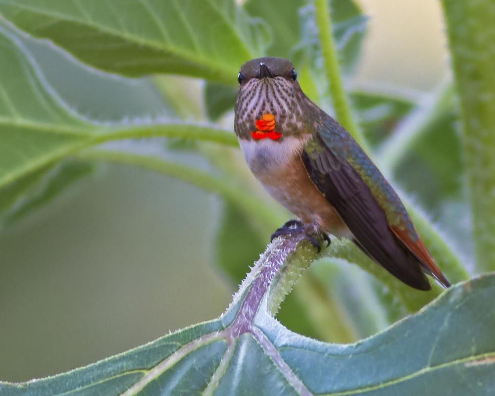 147 - Hummingbird
