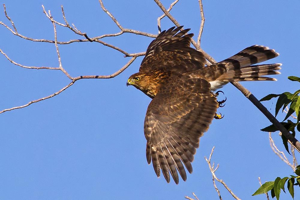 150 - Juvenile Coopers Hawk