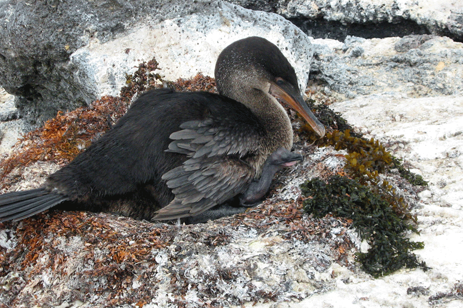 Flightless Cormorant and chick