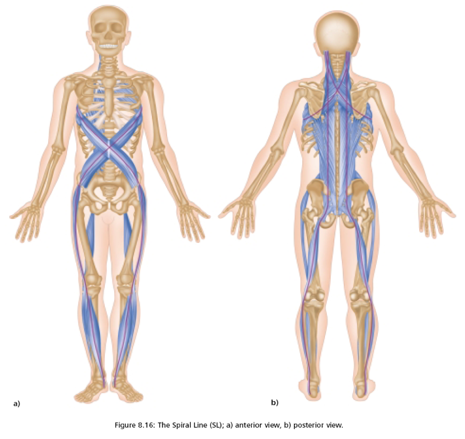 This is the Spiral Line Meridian. Did you know most injuries are not muscular? Dysfunctions in the connective tissue account for well over half of the injuries in today's active population, even when muscles are involved. Tightness in any of the areas along the spiral line, can cause pain and inflammation in others. As one area becomes short and inelastic, the other areas suffer their own elasticity and can sometimes tear. By retraining specific muscles to contract in specific ways, we can alleviate stress and inflammation along the spiral and stop pain from traveling to other aspects of the body. Book a session for a full evaluation.
