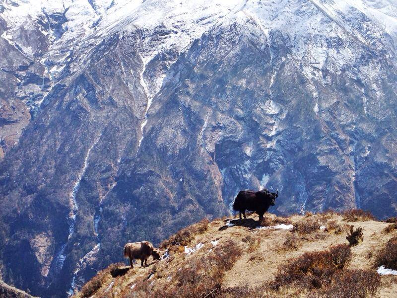 Yaks just chilling on Thamserku 6,623m or 21,729ft