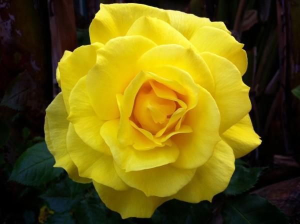 yellowrose-600x448.jpg