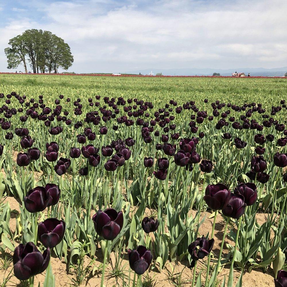 Tulip Farm 8.jpg