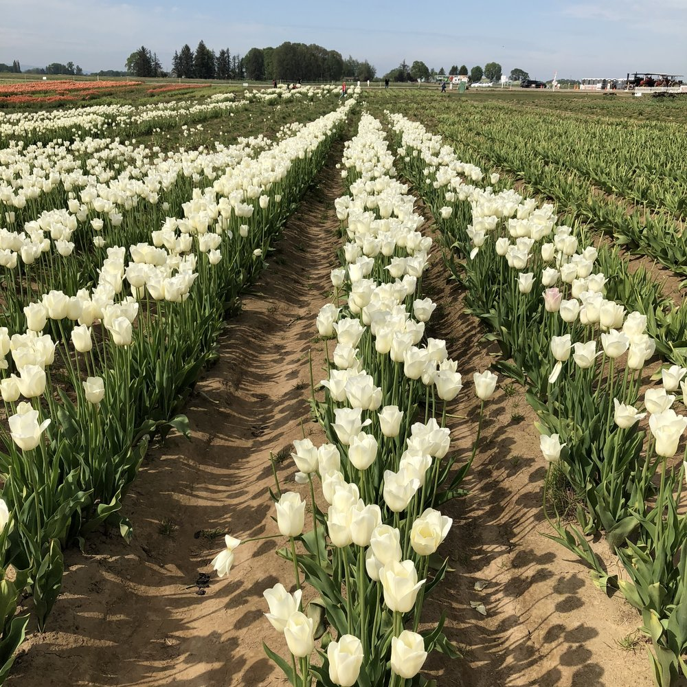 Tulip Farm 10.jpg