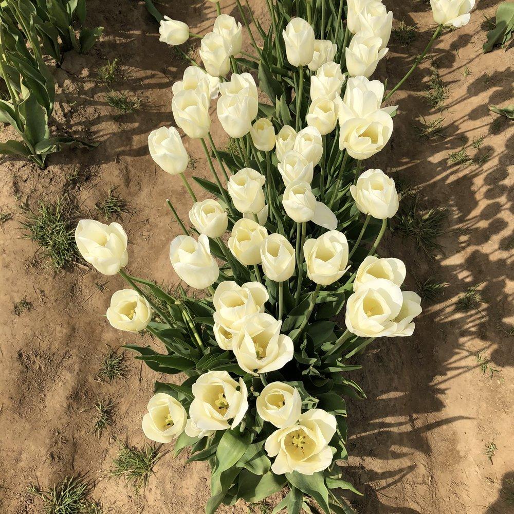 Tulip Farm 11.jpg