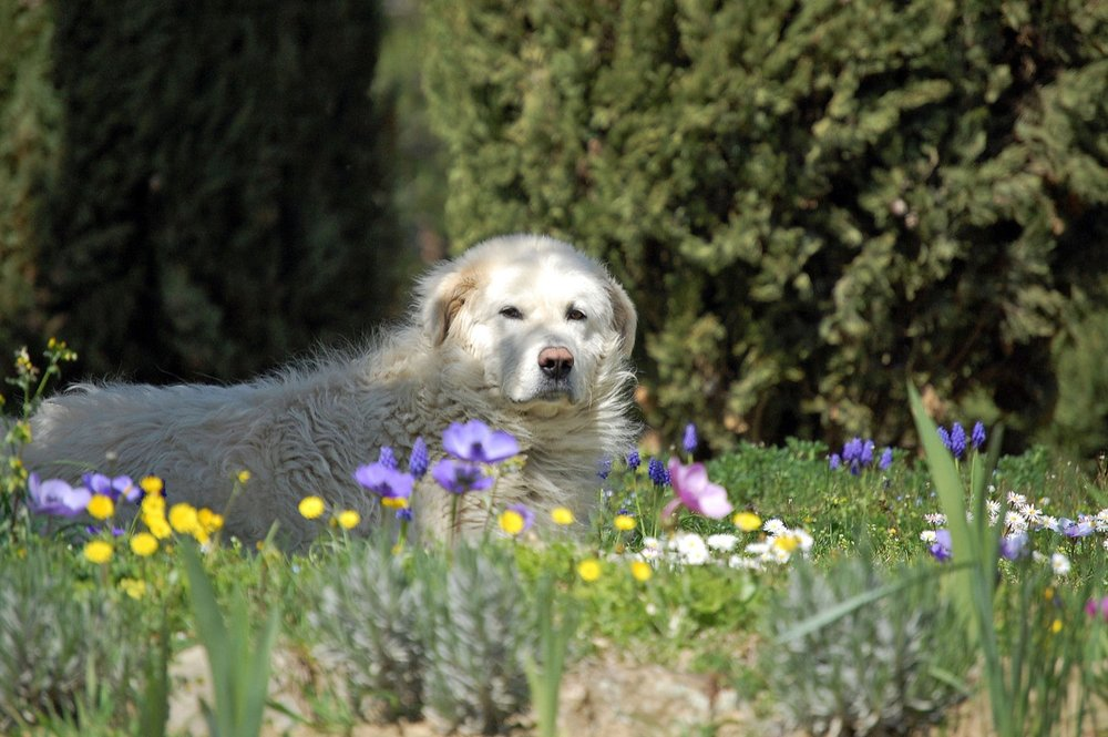 Photo of a Maremma dog, by  Monica Arellano-Ongpin
