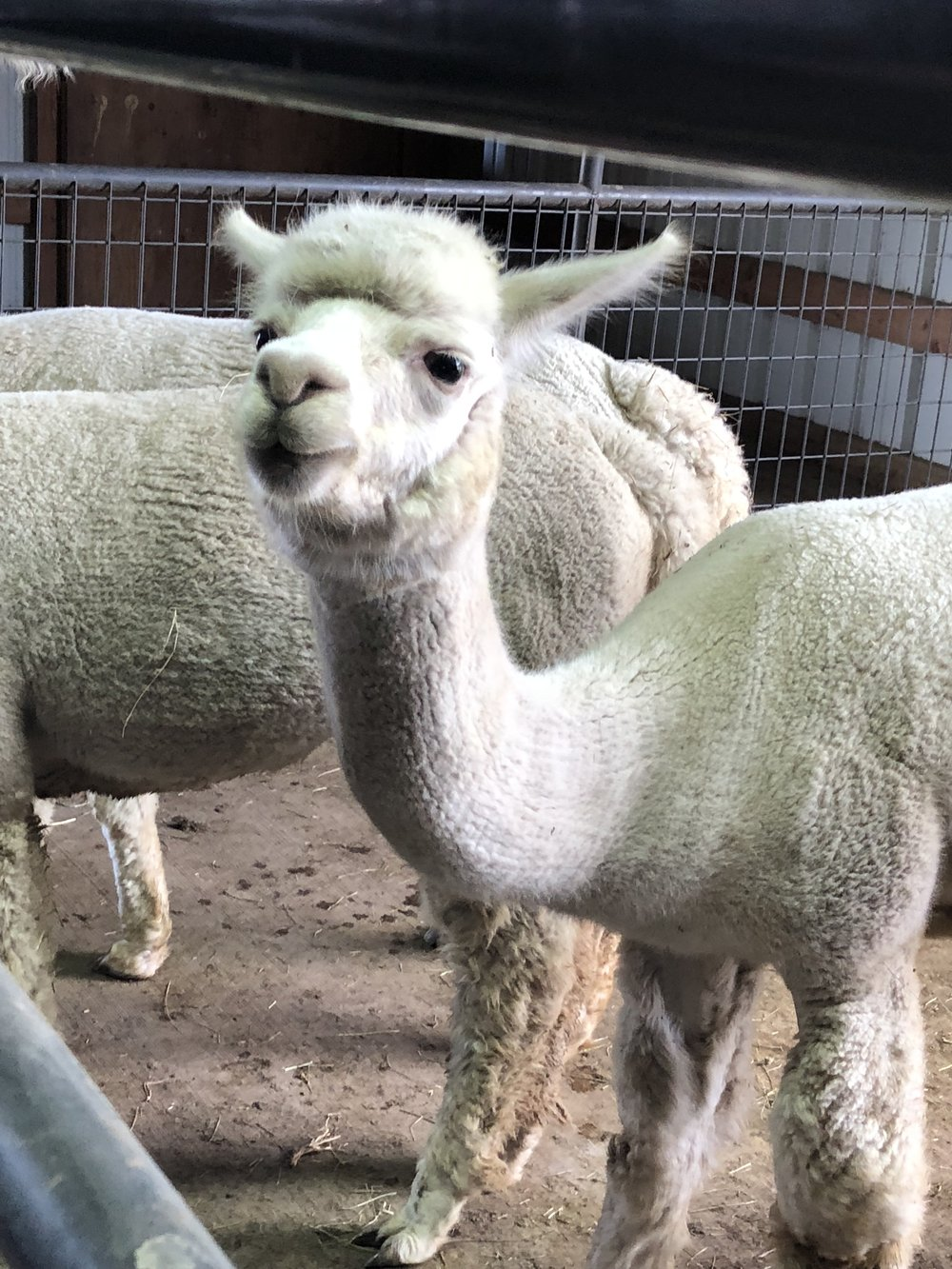 alpacas 2.jpg