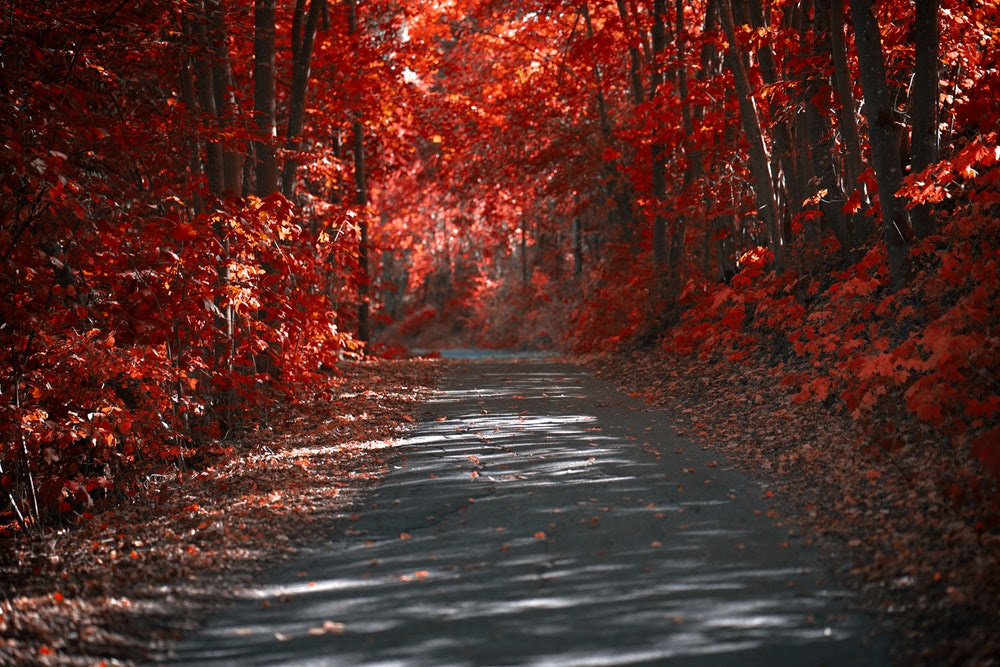 red autumn leaves path.jpg