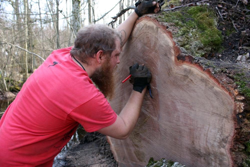 Vi prøver at afgøre hvor gammel egetræet er. 250-300 år. Splinten er ualmindelig tynd, fantastisk stamme!