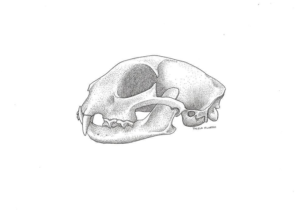 Bobcat Skull, Talela Florko