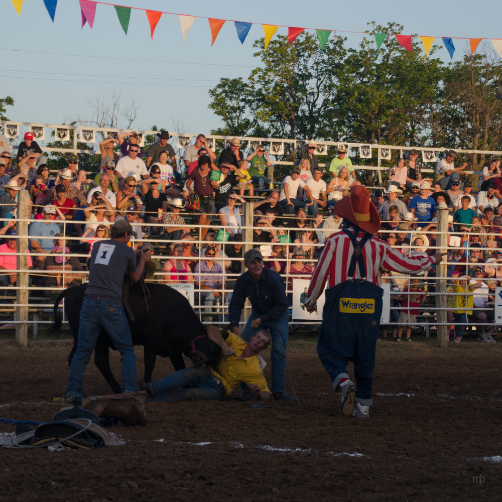 Wild Steer Scramble.  Longford Rodeo 2013