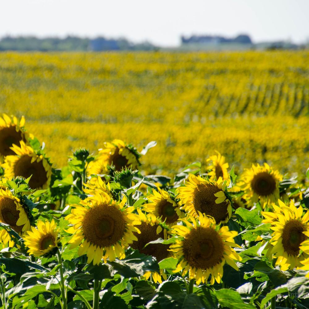 Field of Yellow and Green. Washington County, KS
