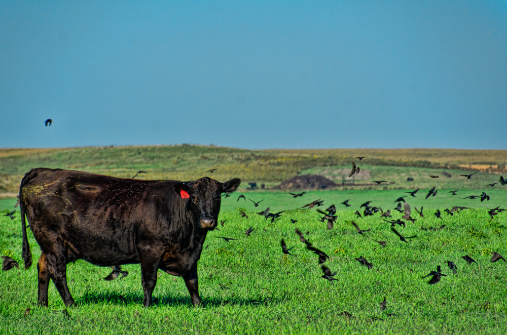 Cow and Crows.  Edited in Fusion Express 2 and LR5.