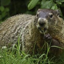 groundhog-956701_1920.jpg