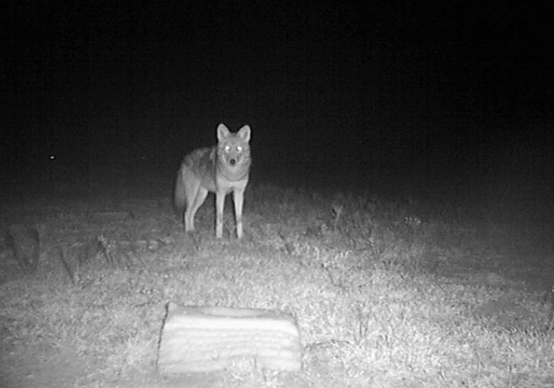01_Coyote_HLowe.jpg