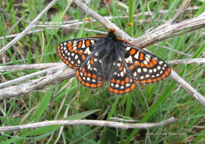 WA-Taylor's checkerspot_by Judy Lantor USFWS flickr-2.jpg