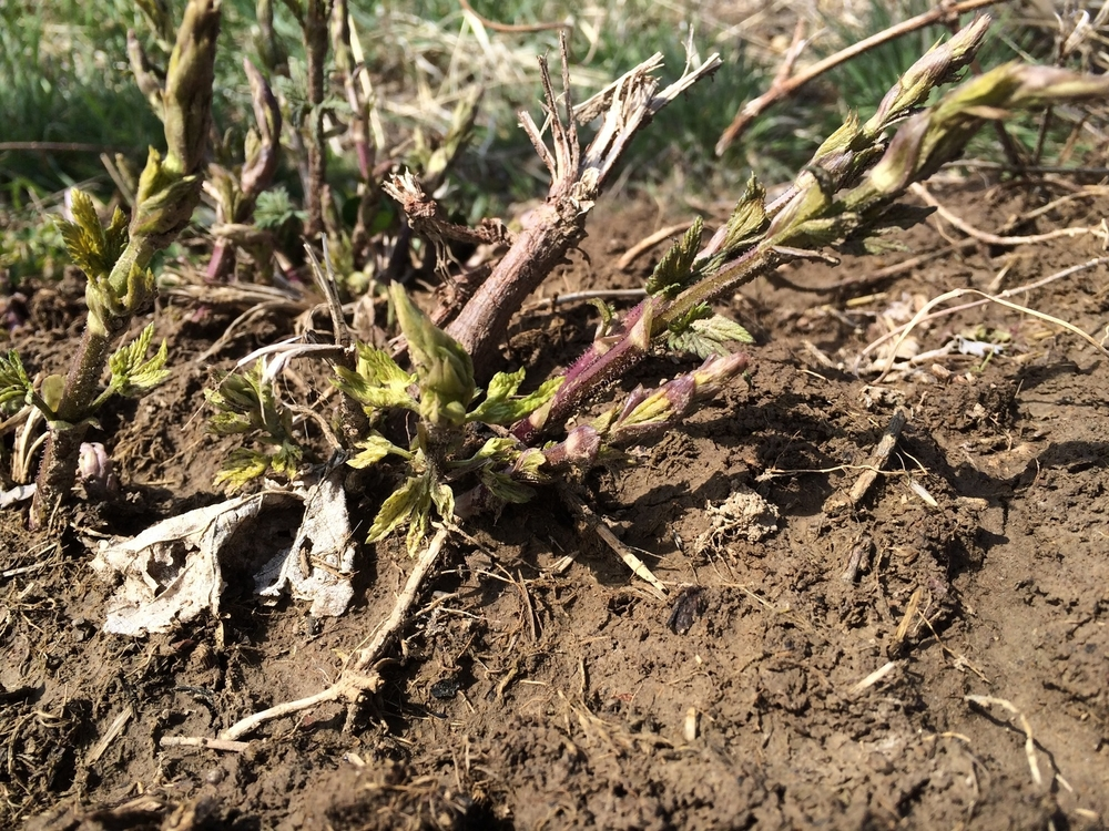 First shoots from harvest season, 2015