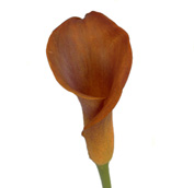fall-in-love-mini-calla-lily.jpg