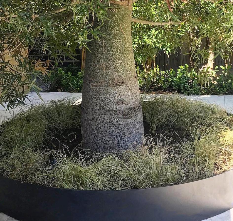 A Queensland Bottle Tree with steel garden edging by Formboss